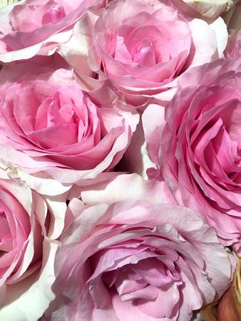 Roses background, pink rose isolated on black background. Banco de Imagens - 124822032