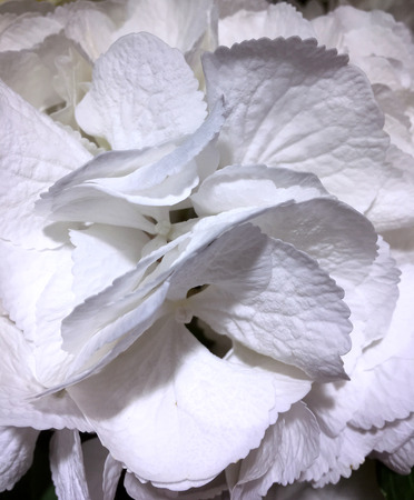 Beautiful hydrangea background in white colors. Banco de Imagens