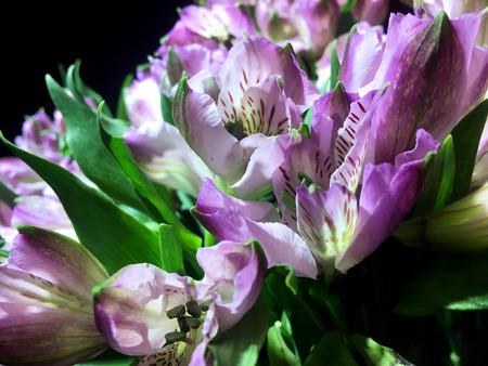 Purpl Alstroemeria flowers background. Alstroemeria. Alstroemerias on black background 写真素材
