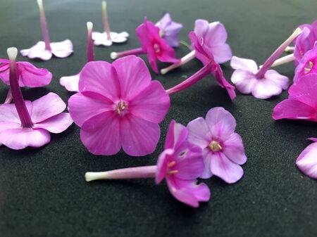 Dianthus Garden Flowers on black backgraund. Pink Flowers To Garden Carnations. Stock Photo