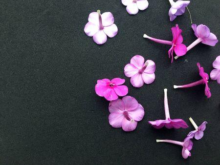 Dianthus Garden Flowers on black backgraund. Pink Flowers To Garden Carnations. Stok Fotoğraf