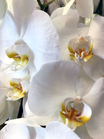 White Orchids. Close up white streaked orchid flower at sunlight .