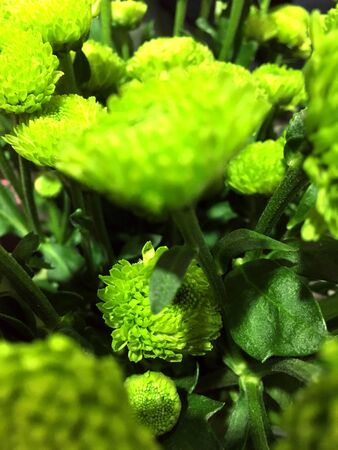 Green chrysanthemum flowers. Green Chrysanthemum isolated on black background.
