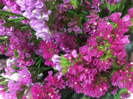 Beautiful colorful fresh statice flower. Limonium sinuatum or Statice flower.