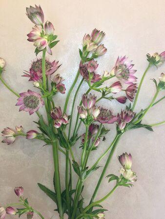 Macro shot of two delicate astrantia flowers in paper. Astrantia major.