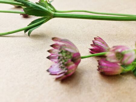 Macro shot of two delicate astrantia flowers in paper. Astrantia major.