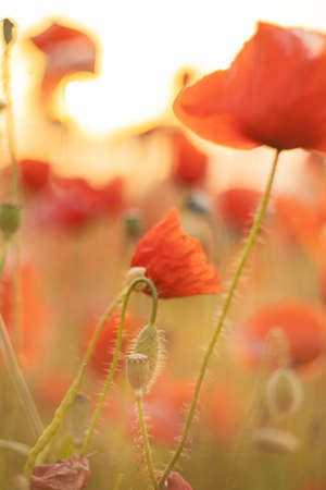 Poppy flowers summer background, field with red flowers. Meadow with beautiful bright red poppy flowers.