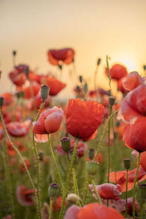 Sunrise with poppies in the sun. Poppy flower. Beautiful field of red poppies in the sunset light.