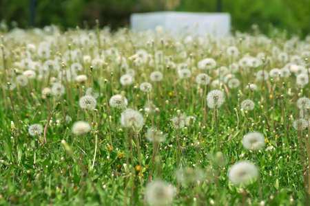 Lots of fluffy dandelions over green grass