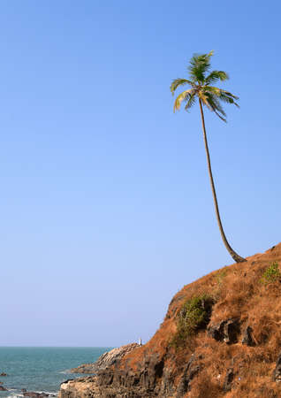 Lonely coconut palm on the beach in Goa