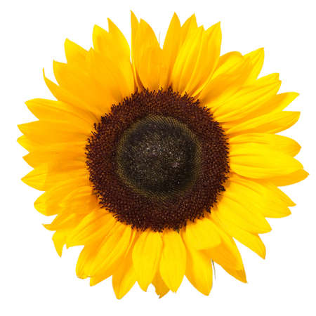 sunflower isolated: Bright colorful yellow sunflower isolated over white