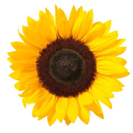 zonnebloem: Heldere kleurrijke gele zonne bloem geïsoleerd via Wit