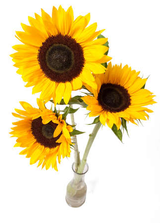 three objects: Three yellow sunflowers in vase isolated over white