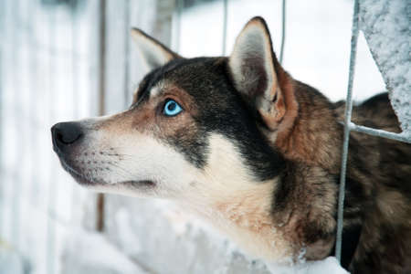 Husky dog Stock Photo - 11373924