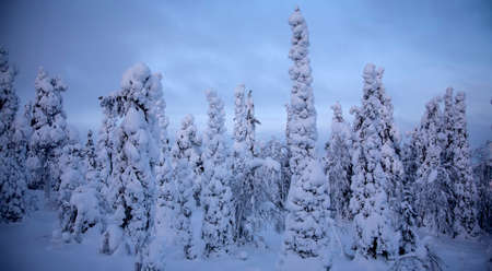 Night forest under snow in winter at Finland after snowfall