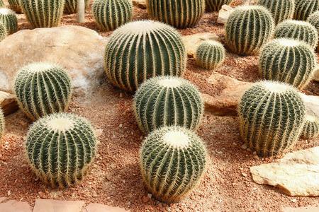 Big cactus in farm