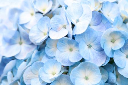 Hydrangea flower in farm for create background