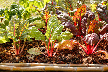 organic vegetable in farm