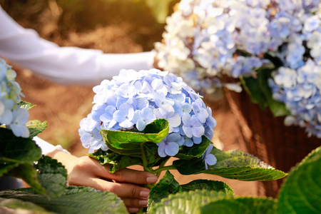 Hydrangea flower in farm for create background