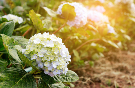 hydrangea flower in farm 版權商用圖片