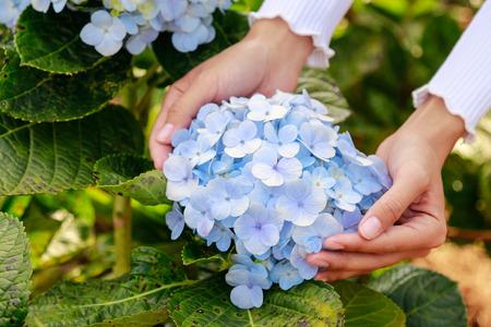 hydrangea flower in farm  with hand
