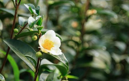 Flower of green tea tree in farm 版權商用圖片