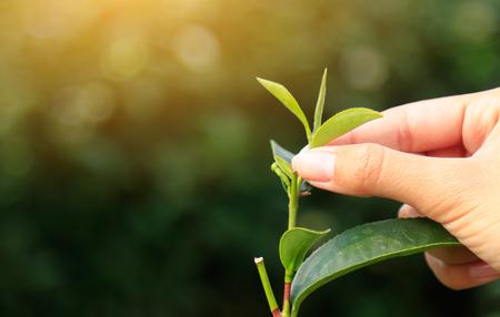hand picking tea leaf in farm 版權商用圖片