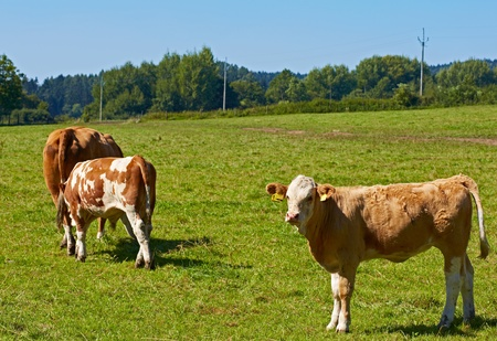 Brown cows in the pasture  Horizontal position  photo