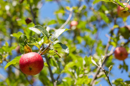 horizontal position: Red apple on a tree  Horizontal position
