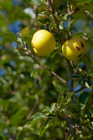 tree position: Yellow apple on a tree  Vertical position  Stock Photo