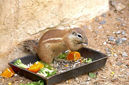 xerus inauris: Exotic squirrel. Sort : Xerus inauris. Stock Photo