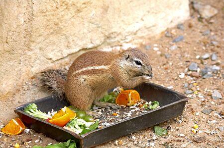 xerus inauris: Exotic squirrel. Sort : Xerus inauris. Stock Photo