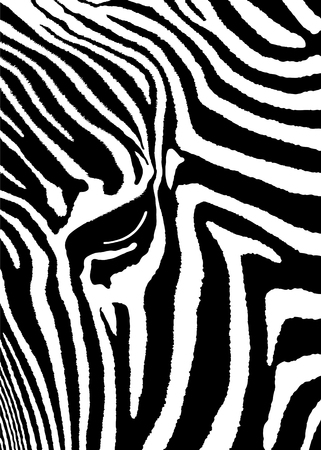 Detailed illustration leather of a zebra. Vector