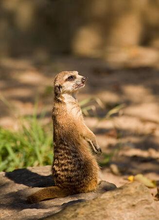 suricate: Suricate  Sort   Suricata suricatta