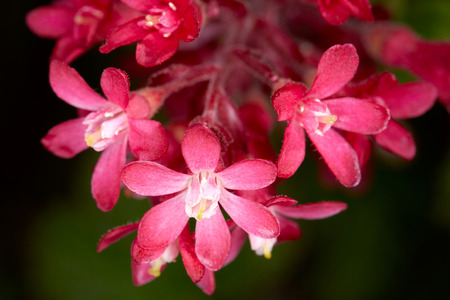 sepals: Bush with red flowers. Detailed view of the plant.