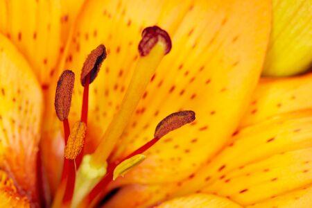tiger lily: Tiger lily Lilium lancifolium.