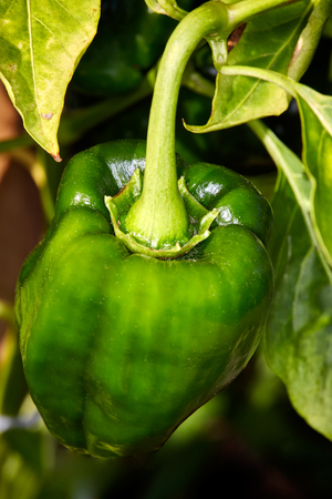 detailed view: Detailed view of green pepper in the garden. Stock Photo