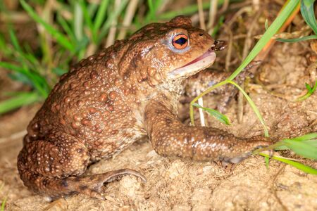 The European toad eats insect