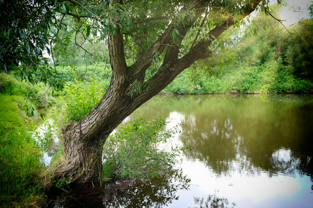 Weeping willow on the shore of a pond.