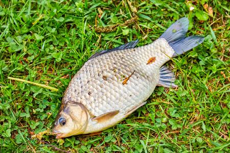Raw fish Crucian Carp. Species : Carassius carassius.