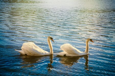 Romantic two swans on a river.
