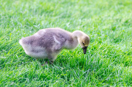 Young chicken feeding with grass Stock Photo