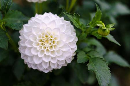 White dahlia flower detail Banque d'images