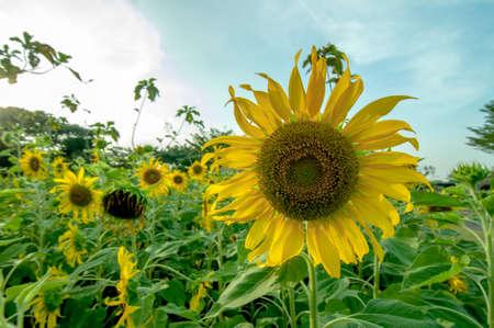 ix: sun flower Stock Photo