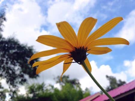 graden: Yellow Cosmos in graden Stock Photo