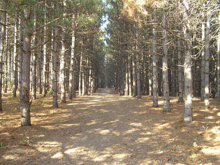 Picturesque path through a pine forest. Imagens