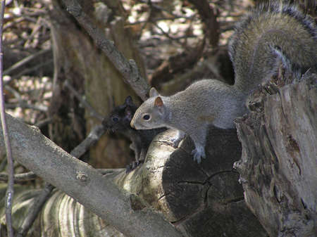 black squirrel and grey squirrel sitting together on log photo