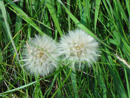 Close up view of two dandelions