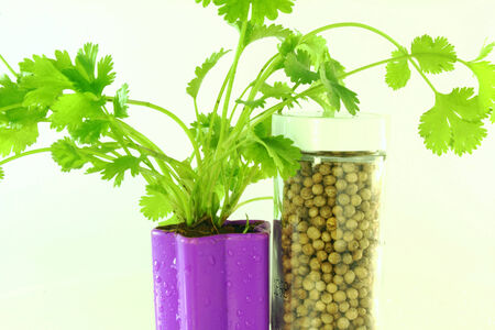 cures: coriander plant with seeds Stock Photo