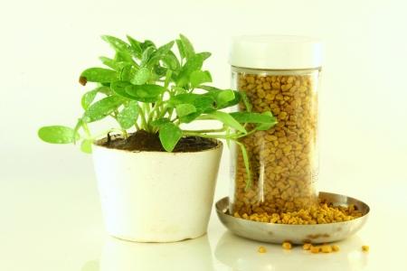 fenugreek:  fenugreek plant and seeds